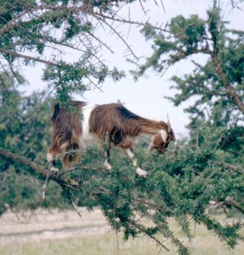 TGC2-Tree climbing goat